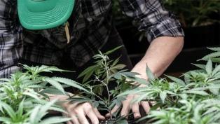 La Rioja será la provincia con mayor cultivo de cannabis del país