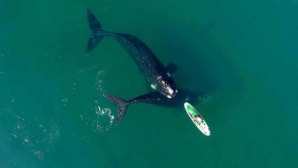 """""""La ballena la que se acercó a la tabla para jugar como si fuera una mascota"""" (Foto Maxi Jonas)"""