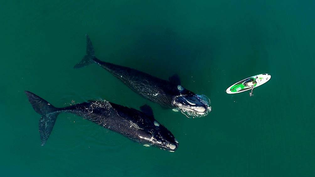 """""""Creo que hoy hice el mejor video con drone de ballenas de mi vida"""" (Foto Maxi Jonas)"""
