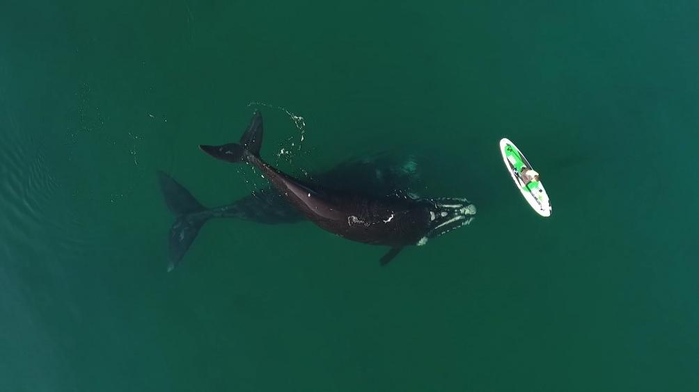 Para la conclusión se analizaron cinco décadas de datos de foto-identificación de ballenas francas australes de Península Valdés, sobre el extremo noreste del Chubut.
