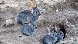 La polémica por la erradicación de conejos en Ushuaia generó una denuncia por contrabando