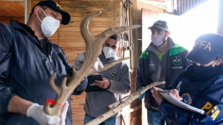 Incautaron cabezas y pieles de leones, hipopótamos y elefantes en talleres clandestinos de taxidermia