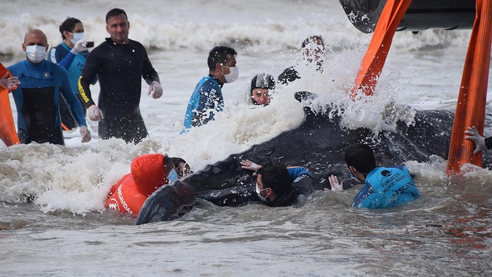 Regresaron al mar a dos ballenas varadas en la costa bonaerense.