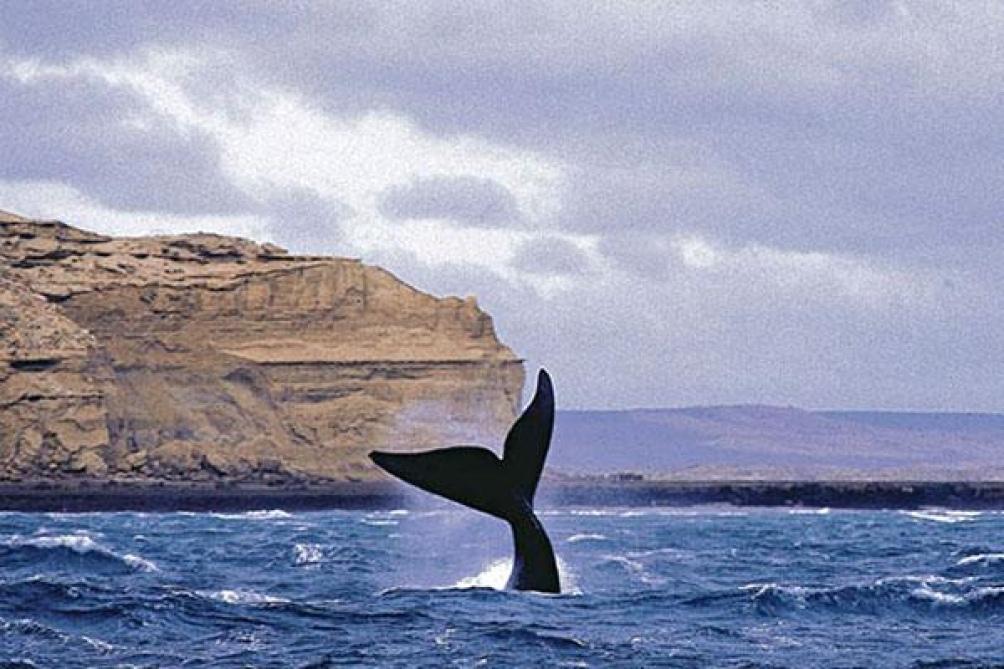 """El intendente de Puerto Madryn afirmó que """"el recurso ballenas tiene un valor enorme y potencia la economía""""."""