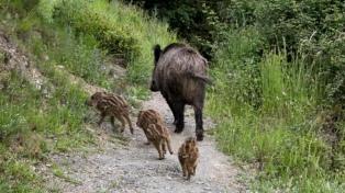 Autorizan la caza de jabalí en distritos bonaerenses