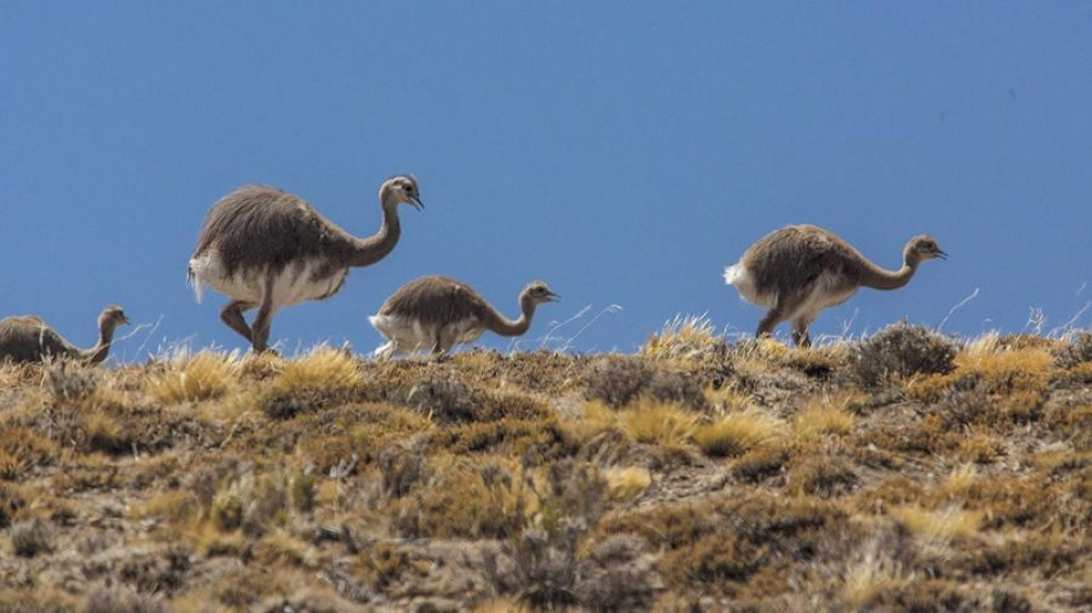 Los ñandués forman parte del paisaje de la meseta patagónica.