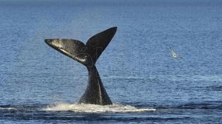 Llegaron los primeros ejemplares de ballenas a los golfos de Península Valdés