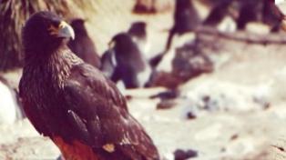 Descubrieron el misterio de la subsistencia de los caranchos australes