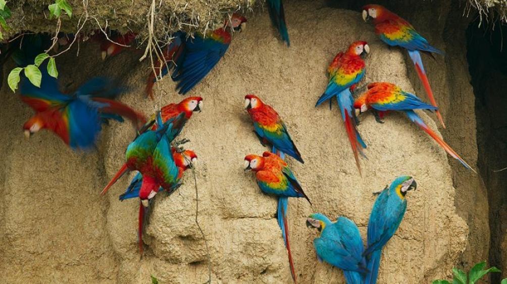Guacamayos en la pantalla de Animal Planet