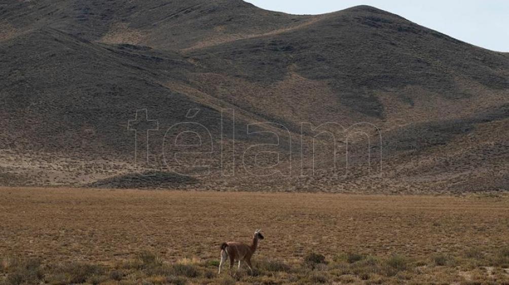 El guanaco es un animal que está amenazado por distintos factores, como el clima y la acción humana.