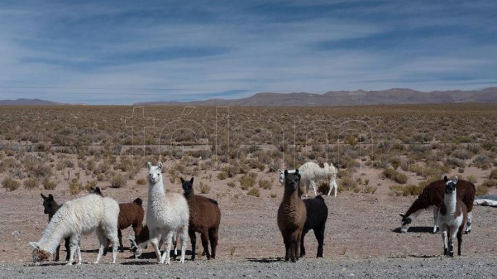 El guanaco comienza a movilizarse hacia fines del verano y principios del otoño desde las zonas de altura de la meseta patagónica, unos 1.500 metros, hacia las zonas bajas. (Fotos: Carlos Brigo/Télam)