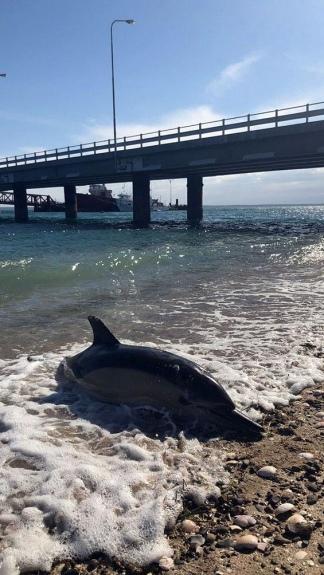 Los especialistas indicaron que los delfines escapaban de una familia de orcas.
