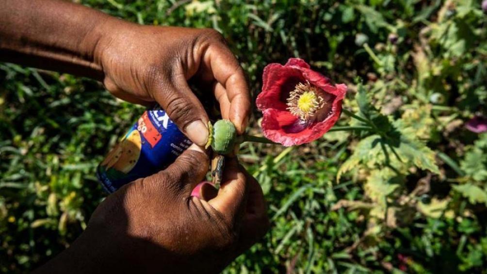 El precio del opio, del que se usa su savia para la fabricación de morfina y heroína que se consume principalmente en Europa, se triplicó ante la probable prohibición de los talibanes.